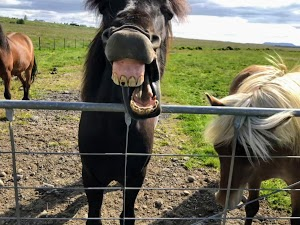 Never look a(n Icelandic) horse in the mouth