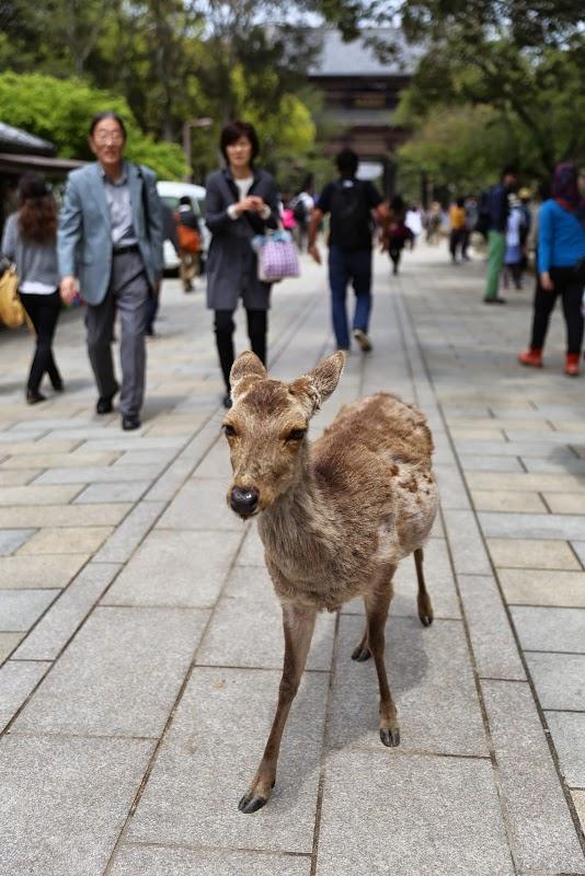 Deer at Toda-ji Temple