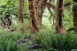 Mossy Tree, Hoh Rainforest